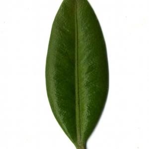 Photographie n°153034 du taxon Buxus sempervirens L. [1753]