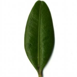 Photographie n°153035 du taxon Buxus sempervirens L. [1753]