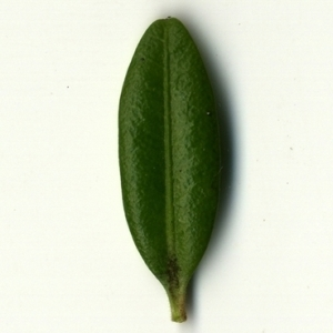 Photographie n°153046 du taxon Buxus sempervirens L. [1753]