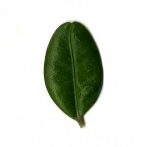 Photographie n°153056 du taxon Buxus sempervirens L. [1753]
