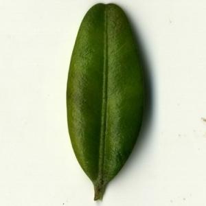 Photographie n°153064 du taxon Buxus sempervirens L.