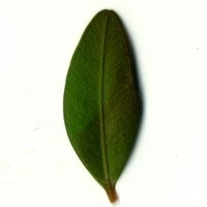 Photographie n°153133 du taxon Buxus sempervirens L. [1753]