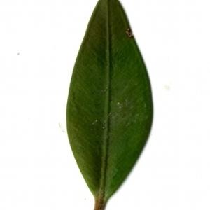 Photographie n°153134 du taxon Buxus sempervirens L. [1753]