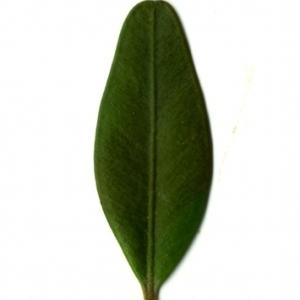 Photographie n°153135 du taxon Buxus sempervirens L. [1753]