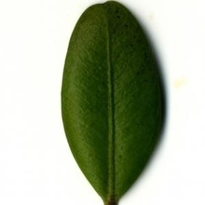 Photographie n°153136 du taxon Buxus sempervirens L.
