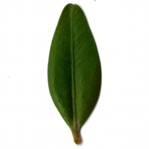 Photographie n°153137 du taxon Buxus sempervirens L. [1753]