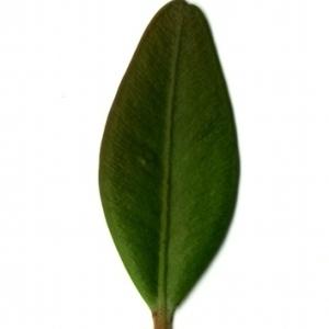 Photographie n°153138 du taxon Buxus sempervirens L.