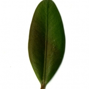 Photographie n°153139 du taxon Buxus sempervirens L. [1753]