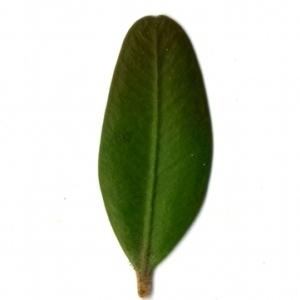 Photographie n°153141 du taxon Buxus sempervirens L. [1753]
