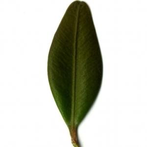 Photographie n°153142 du taxon Buxus sempervirens L. [1753]