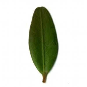 Photographie n°153143 du taxon Buxus sempervirens L. [1753]