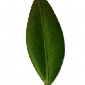 Photographie n°153144 du taxon Buxus sempervirens L. [1753]