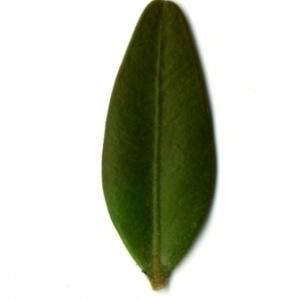 Photographie n°153145 du taxon Buxus sempervirens L. [1753]