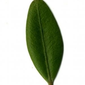Photographie n°153146 du taxon Buxus sempervirens L. [1753]
