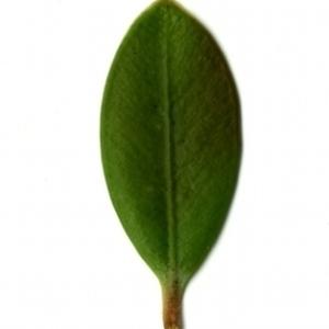 Photographie n°153148 du taxon Buxus sempervirens L. [1753]