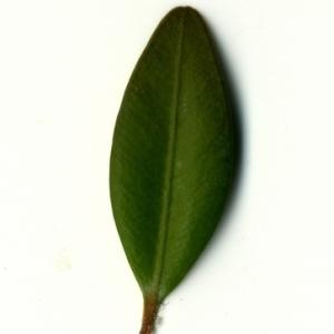 Photographie n°153149 du taxon Buxus sempervirens L. [1753]