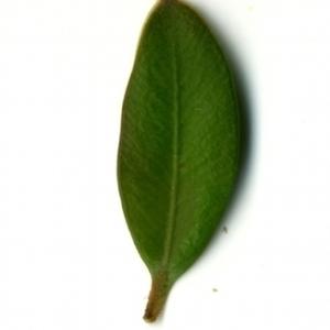 Photographie n°153150 du taxon Buxus sempervirens L. [1753]