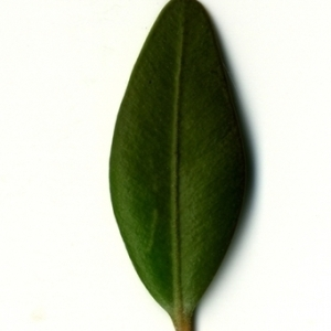 Photographie n°153152 du taxon Buxus sempervirens L. [1753]