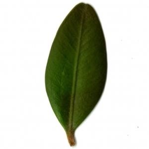 Photographie n°153153 du taxon Buxus sempervirens L.
