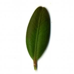 Photographie n°153154 du taxon Buxus sempervirens L. [1753]
