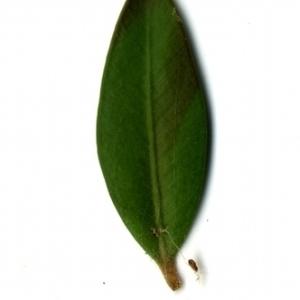 Photographie n°153155 du taxon Buxus sempervirens L.