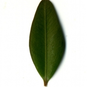 Photographie n°153156 du taxon Buxus sempervirens L. [1753]