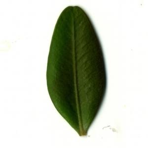 Photographie n°153157 du taxon Buxus sempervirens L. [1753]