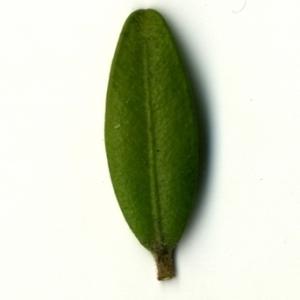 Photographie n°153158 du taxon Buxus sempervirens L. [1753]