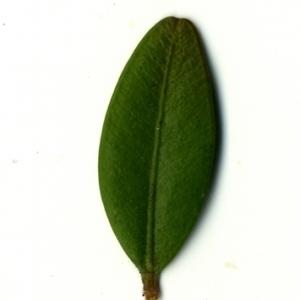 Photographie n°153159 du taxon Buxus sempervirens L.