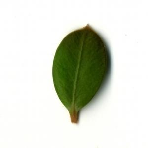 Photographie n°153160 du taxon Buxus sempervirens L. [1753]
