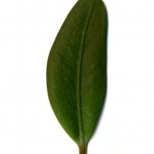 Photographie n°153161 du taxon Buxus sempervirens L. [1753]
