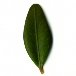 Photographie n°153162 du taxon Buxus sempervirens L. [1753]