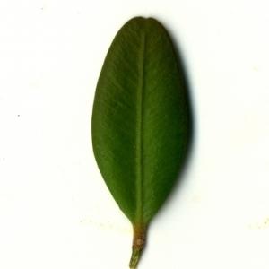 Photographie n°153164 du taxon Buxus sempervirens L. [1753]