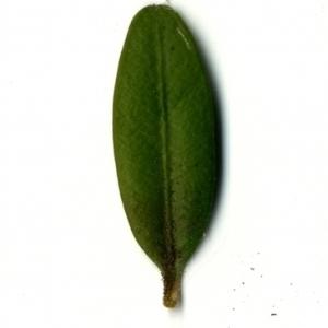 Photographie n°153165 du taxon Buxus sempervirens L.