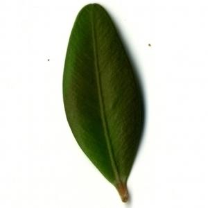 Photographie n°153166 du taxon Buxus sempervirens L. [1753]