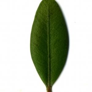 Photographie n°153167 du taxon Buxus sempervirens L. [1753]