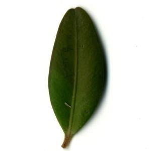 Photographie n°153168 du taxon Buxus sempervirens L. [1753]