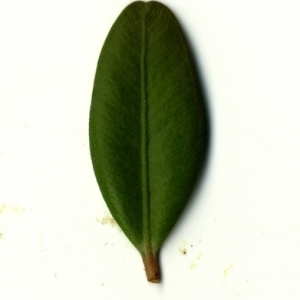 Photographie n°153169 du taxon Buxus sempervirens L. [1753]