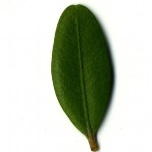 Photographie n°153170 du taxon Buxus sempervirens L.
