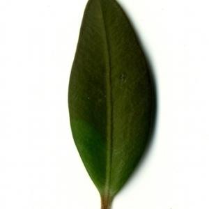 Photographie n°153171 du taxon Buxus sempervirens L. [1753]