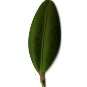 Photographie n°153172 du taxon Buxus sempervirens L. [1753]