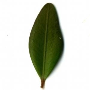 Photographie n°153173 du taxon Buxus sempervirens L. [1753]