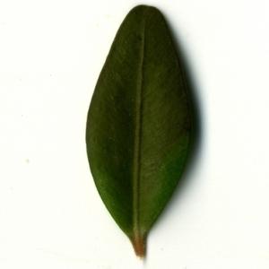 Photographie n°153174 du taxon Buxus sempervirens L.
