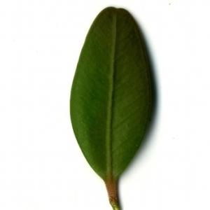 Photographie n°153175 du taxon Buxus sempervirens L. [1753]