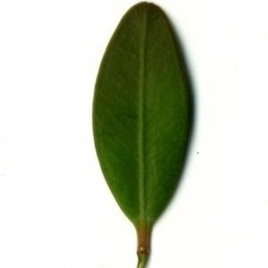 Photographie n°153176 du taxon Buxus sempervirens L. [1753]