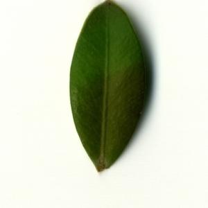 Photographie n°153177 du taxon Buxus sempervirens L. [1753]