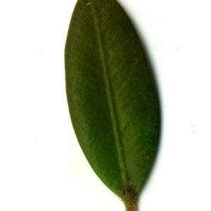 Photographie n°153178 du taxon Buxus sempervirens L. [1753]