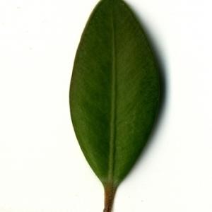 Photographie n°153179 du taxon Buxus sempervirens L. [1753]