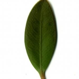 Photographie n°153181 du taxon Buxus sempervirens L. [1753]
