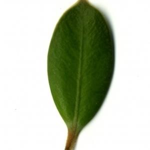 Photographie n°153182 du taxon Buxus sempervirens L. [1753]